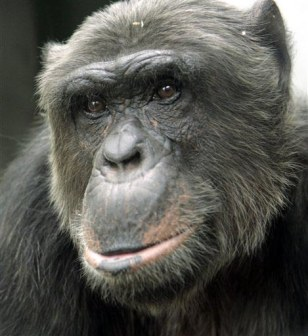 Image: Matthew the chimp